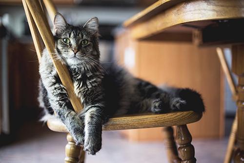 Gato en una silla, expresiones populares
